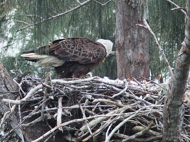 Eaglet visible 2-20140121