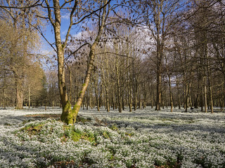 The Snowdrop Woods