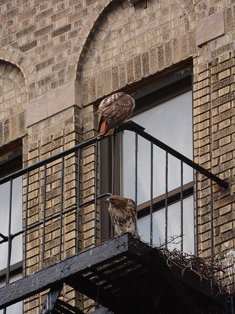 Red-Tailed Hawks and Nest (6569)