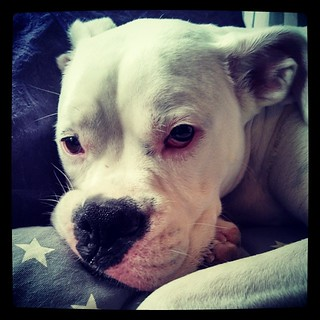 I'm in love with former #foster baby Rosie's big sister Rascal #love #boxer #whiteboxer #dogstagram #toocute #sweet