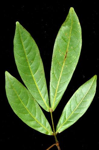 Sarcotoechia villosa DSC_0396 (2)