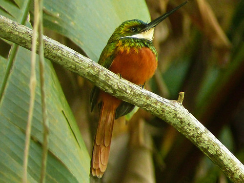 tobago island westindies day2 triptomainridgeforestreserve guidegladwynjames nature ornithology avian bird birds neotropical rufoustailedjacamar galbularuficauda perched branch forest frontsideview leaves closeup outdoor 14march2017 fz200 fz2004 annkelliott anneelliott ©anneelliott2017 ©allrightsreserved