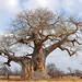 Small photo of Baobab (Adansonia digitata)
