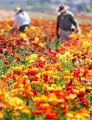 The Flower Fields, Carlbad, CA 4.4.17 4
