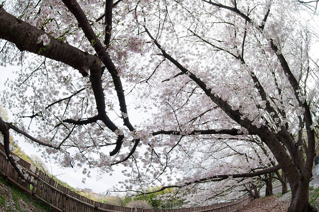 Cherry blossoms, Olympus E-PL3, LUMIX G FISHEYE 8/F3.5