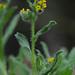 Common Fiddleneck - Amsinckia micrantha