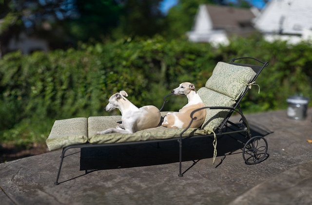 What whippets do on a sunny afternoon, part 3