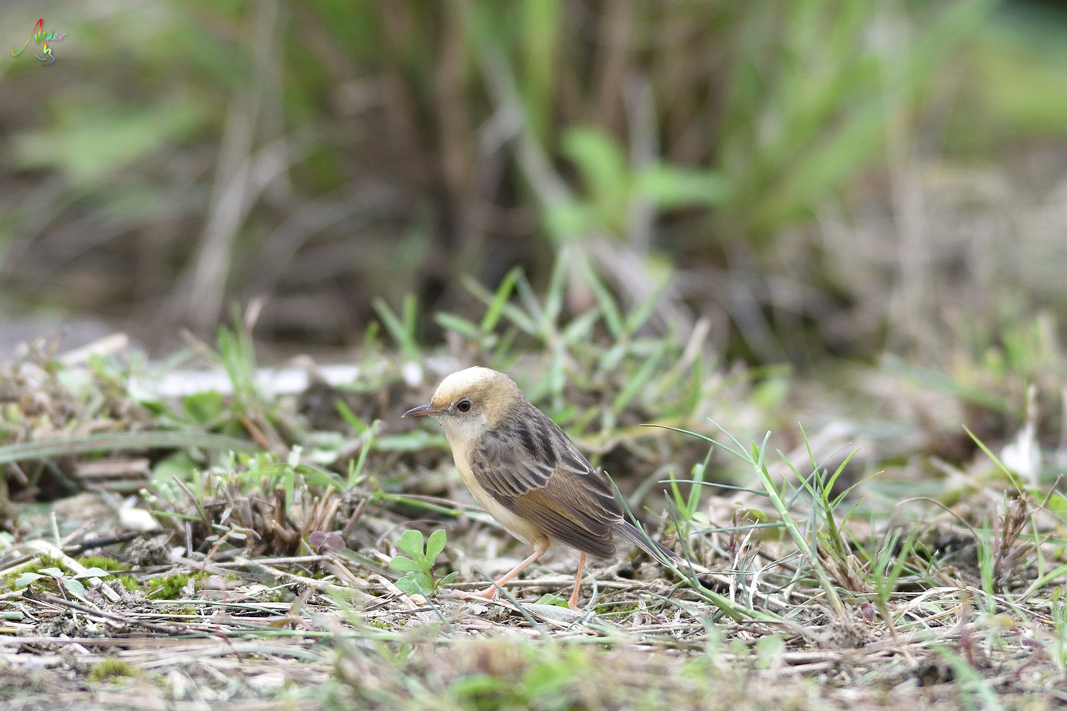 Golden-headed_Cisticola_3536