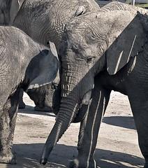Close-up of Head of Elephant
