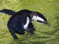 Memphis Zoo 08-31-2016 - African Black-footed Penguin 21