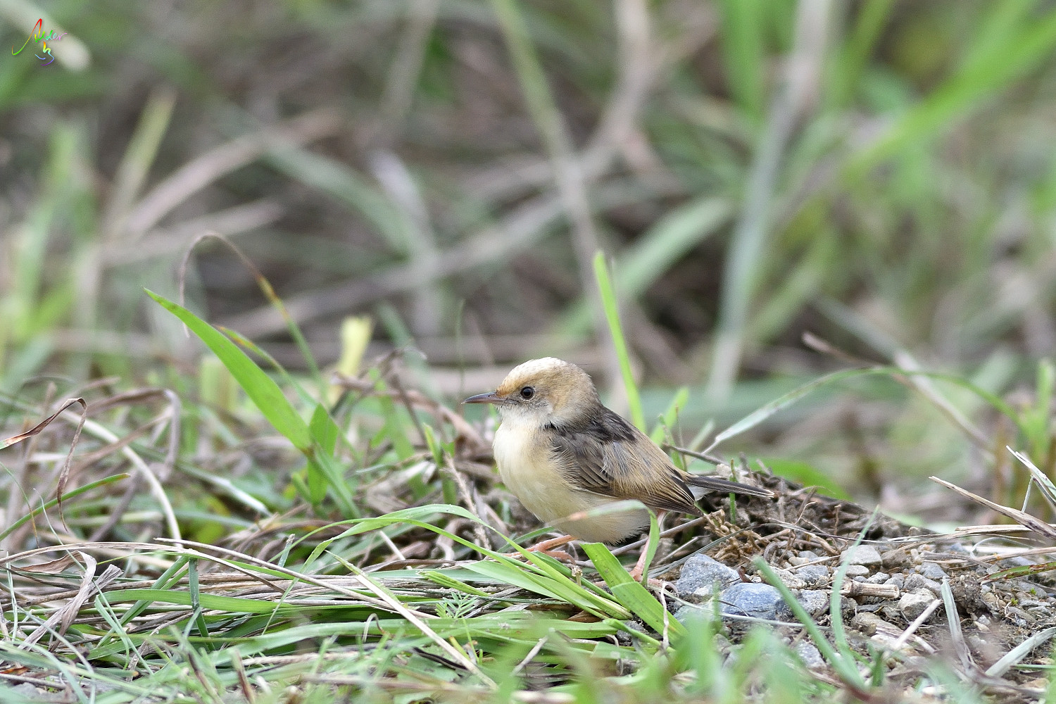 Golden-headed_Cisticola_3655
