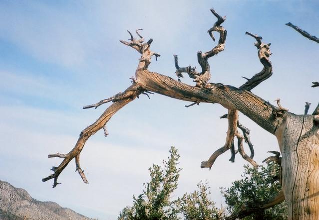 Konica Recorder Ancient Bristlecone Pines 3