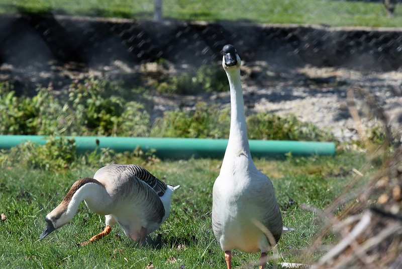 Geese 23-04 (5)