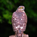 Female sparrowhawk perching