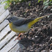 Grey Wagtail - Photo (c) Mark Kilner, some rights reserved (CC BY-NC-SA)