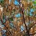 Jebuela (cabeza de abuela) árbol, Juchitán de Zaragoza, Región Istmo, Oaxaca, Mexico por Lon&Queta