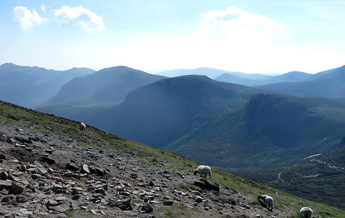 mourne sheep