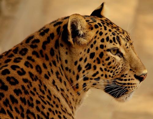 Leopard (Female)
