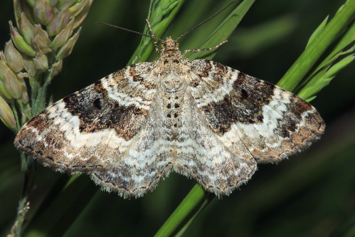 Common Carpet 17839