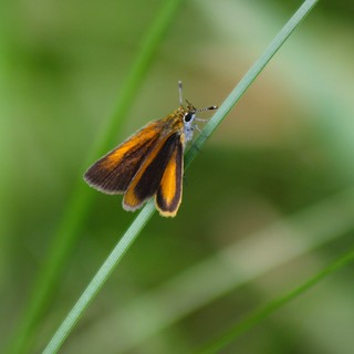 European or Least Skipper?