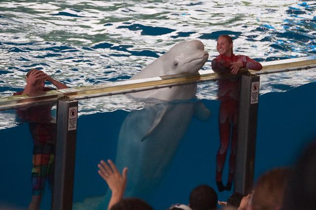 Beluga whale Sea World Azul