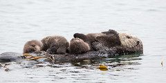 Mother sea otter with rare twin baby pups