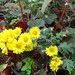 Crisantemas
