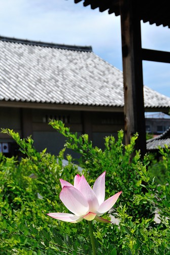 Lotus of Gangou-ji Temple.