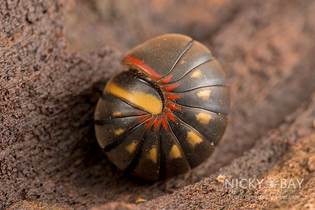 Pill Millipede (Sphaerotheriida) - DSC_0347