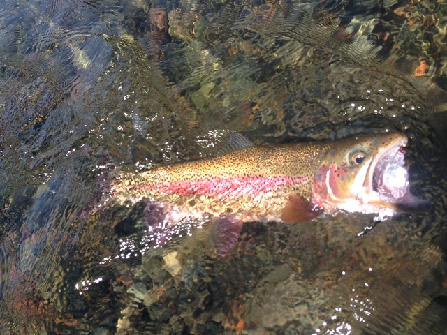 Gettin jiggy with it mckenzie river fishing report the for Mckenzie river fishing