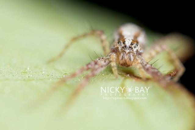 Nursery Web Spider (Pisauridae) - DSC_0812