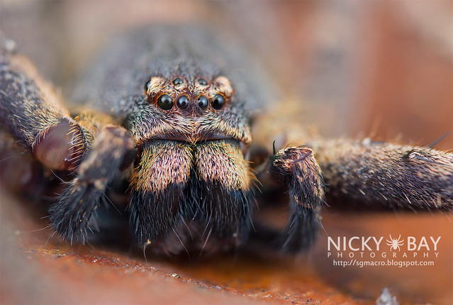 Huntsman Spider (Sparassidae) - DSC_1197