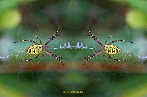 IMG_9559 Wespenspinnen...Auge in Auge