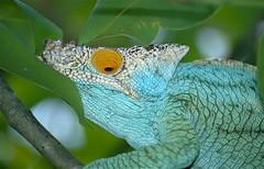 Parson's Chameleon (Calumma parsonii) (captive specimen)