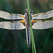 Dragonfly on Grass Stem