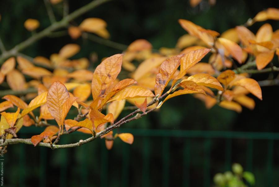 Magnolia in our garden