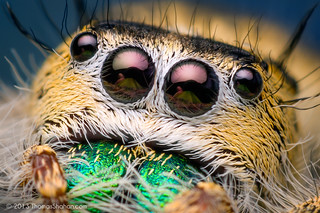 Eyes of a Female Phidippus workmani - Florida