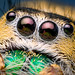 Eyes of a Female Phidippus workmani - Florida by Thomas Shahan