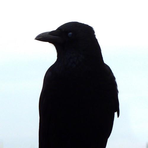 Crow by pho-Tony