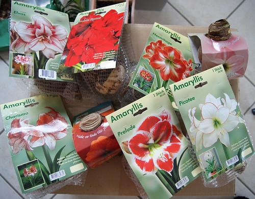 Amaryllis-Kauf: Elvas, Double Roma, Hermitage, Apple Blossom, Charisma, Orange Souvereign, Prelude, Picotee