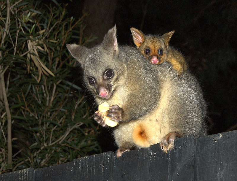 possums_mother_and_child-7