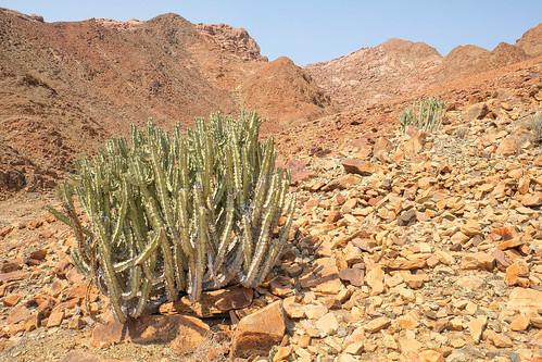 Euphorbia virosa by andiwolfe