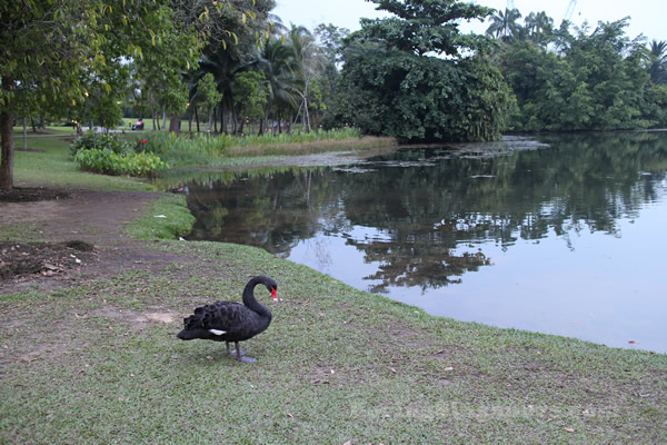Black Swans at the Singapore Botanical Gardens