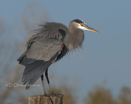 irritated Blue Heron