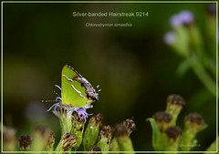 Silver-banded Hairstreak Texas Butterfly photography by Ron Birrell, DSC_9214
