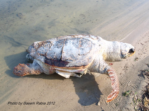 Sea turtle found dead in October 2012 (dead for 2 to 4 weeks)