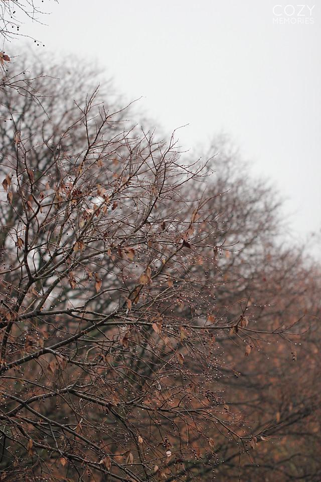 Celtis australis - December 2013