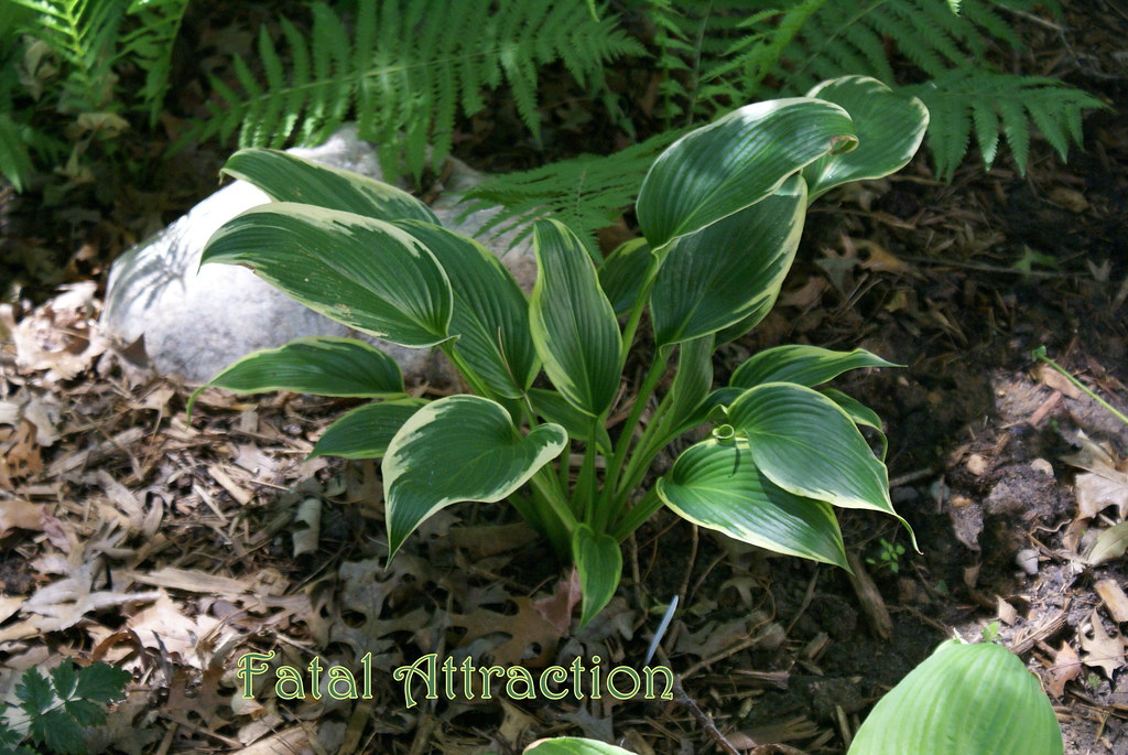 Hosta 'Fatal Attraction' (09)