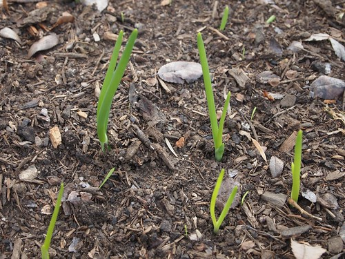 New onions rising in the garden