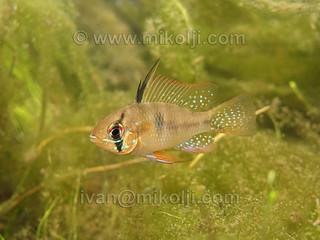 Stock Photo Mikrogeophagus ramirezi Ram Cichlid Images Picture 129